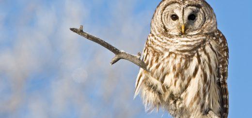 barred owl   HG (1 of 1) crop