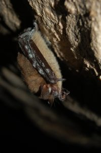 Bat (Myotis sp.) White-nose Syndrome