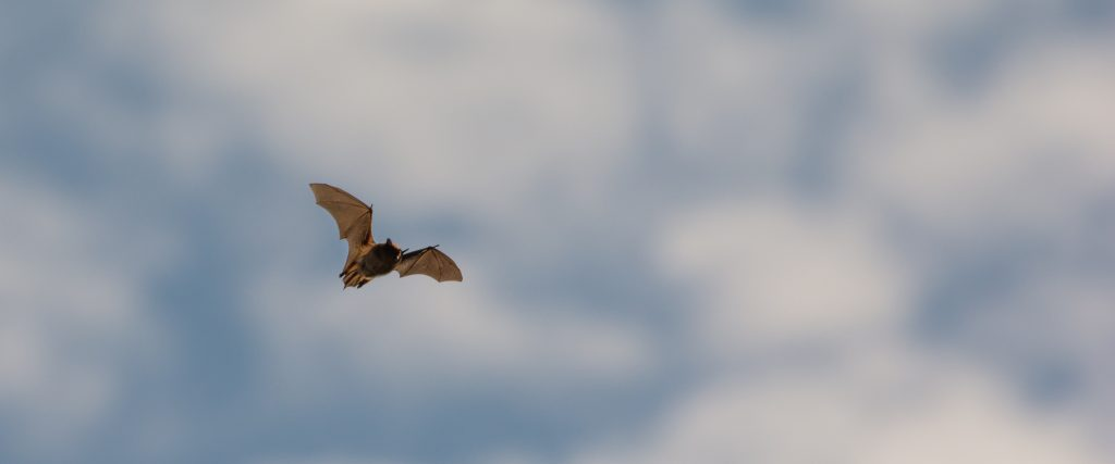 Bat (Myotis sp.) dayflyer crop