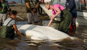 Connie Blakestone and Rozenn Le Net measuring a beluga (Photo: Émilie L. Couture)