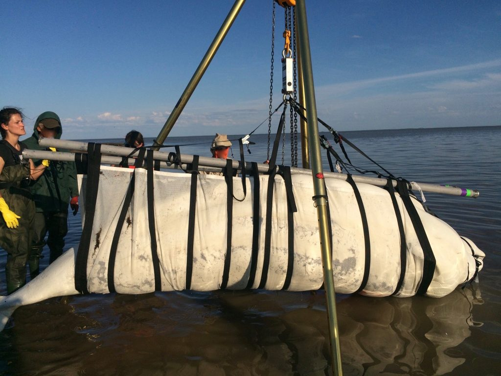 Weighing a beluga (Photo: Jasmine Brewster)