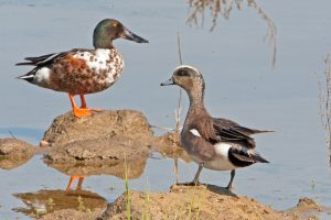 wigeon and shoveller HG (1 of 1)