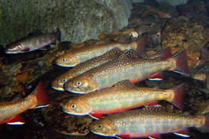 Brook trout (photo credit - USFWS)