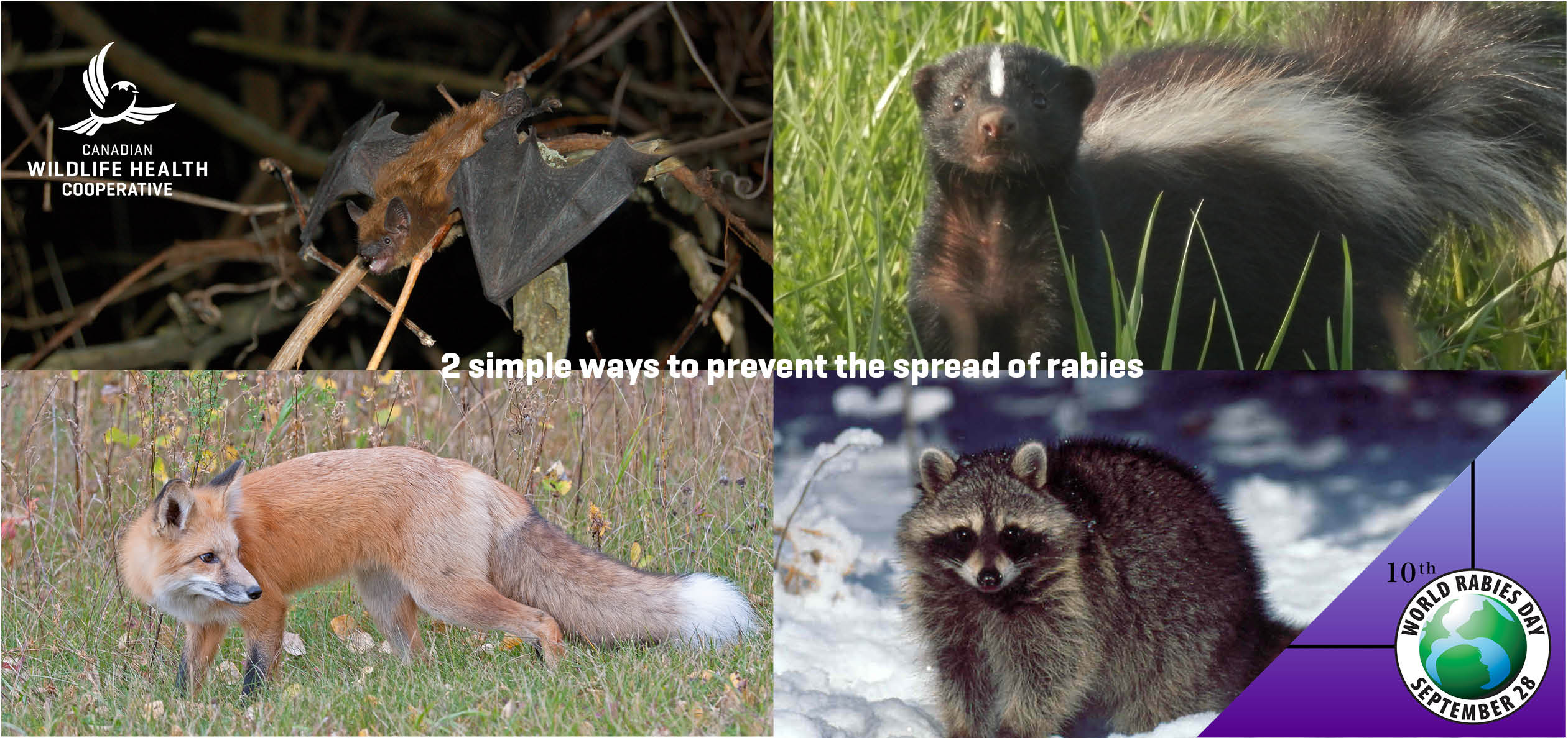 2 simple ways to prevent the spread of rabies healthy wildlife