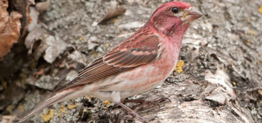 Purple finch (H. Greenwood)