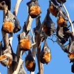 Grey-headed flying fox (J. Welbergen)