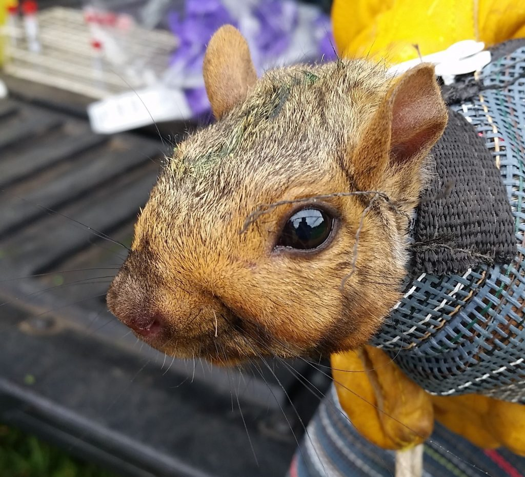 Eastern Grey Squirrel being restrained for weighing, blood collection, tick check and microchipping