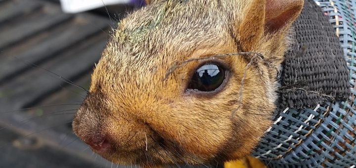 Eastern Grey Squirrel being restrained for weighing, blood collection, tick check and microshipping