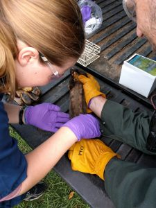 OVC grad student Kathyrn Smith examining a squirrel for ticks.