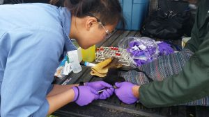 OVC grad student Diana Shum taking blood for a squirrel.