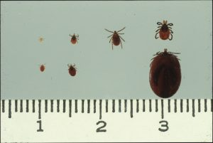 Figure 1:  Deer tick family portrait:  from L, larva, nymph, adult male, adult female (unfed and engorged)