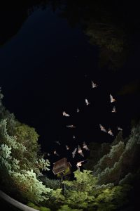 Little brown myotis emerging from a bat box (photo compilation) - by Jordi Segers